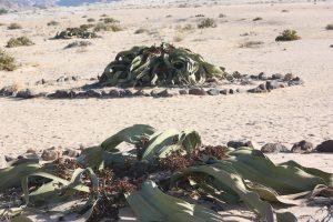 Welwitschia tour