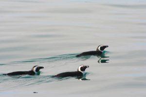 Pinguin Katamarantour